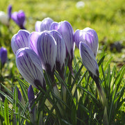 Striped Crocus Pickwick bulbs