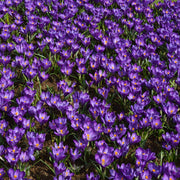 Crocus Remembrance Purple Flower Bulbs for Fall Planting
