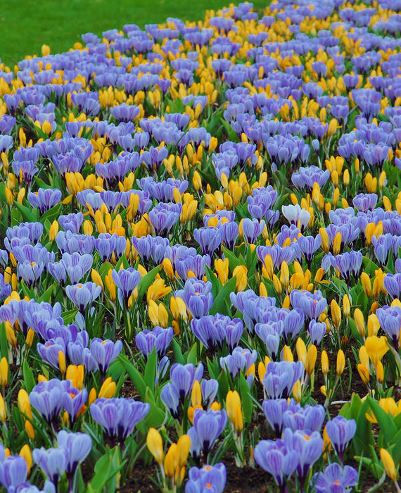Yellow and blue crocus bulbs
