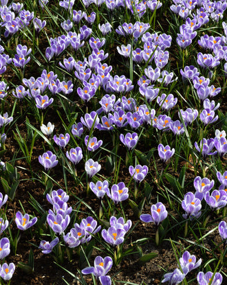 Wholesale striped crocus bulbs