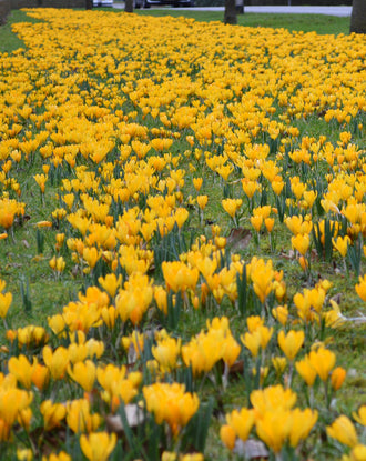 Wholesale yellow crocus bulbs