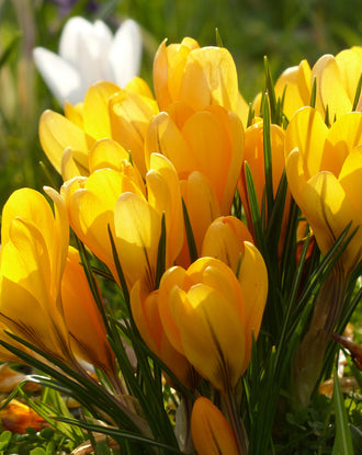 Yellow Crocus spring flowers
