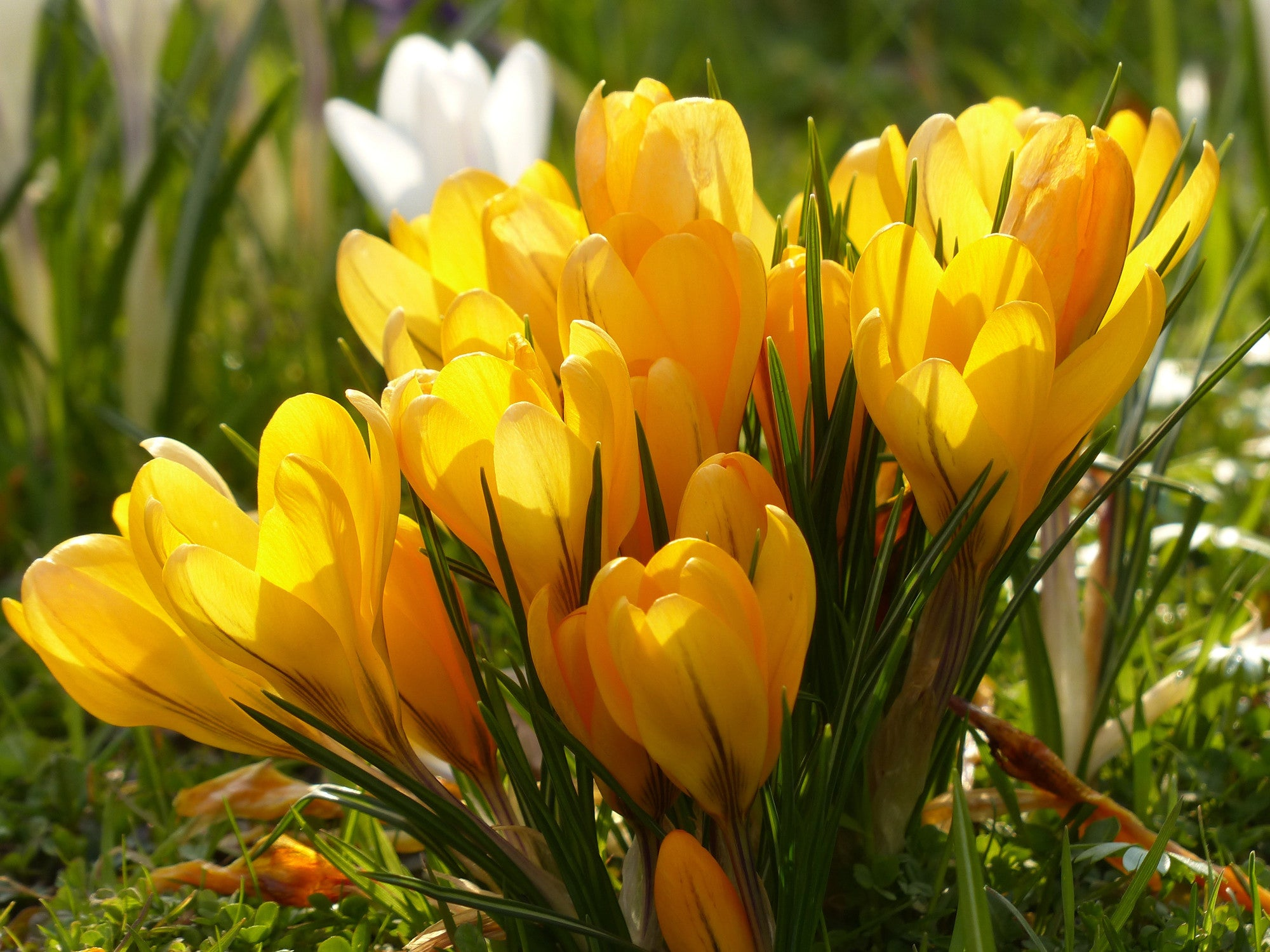 Crocus yellow flower bulbs dutchgrown crocus yellow top size bulbs yellow crocus spring flowers mightylinksfo