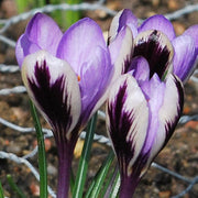 Crocus Flower Bulbs Purple White Spring Beauty