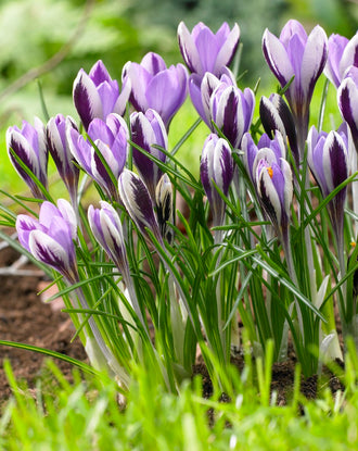 Crocus Spring Beauty - Purple White Blue Crocus Bulbs