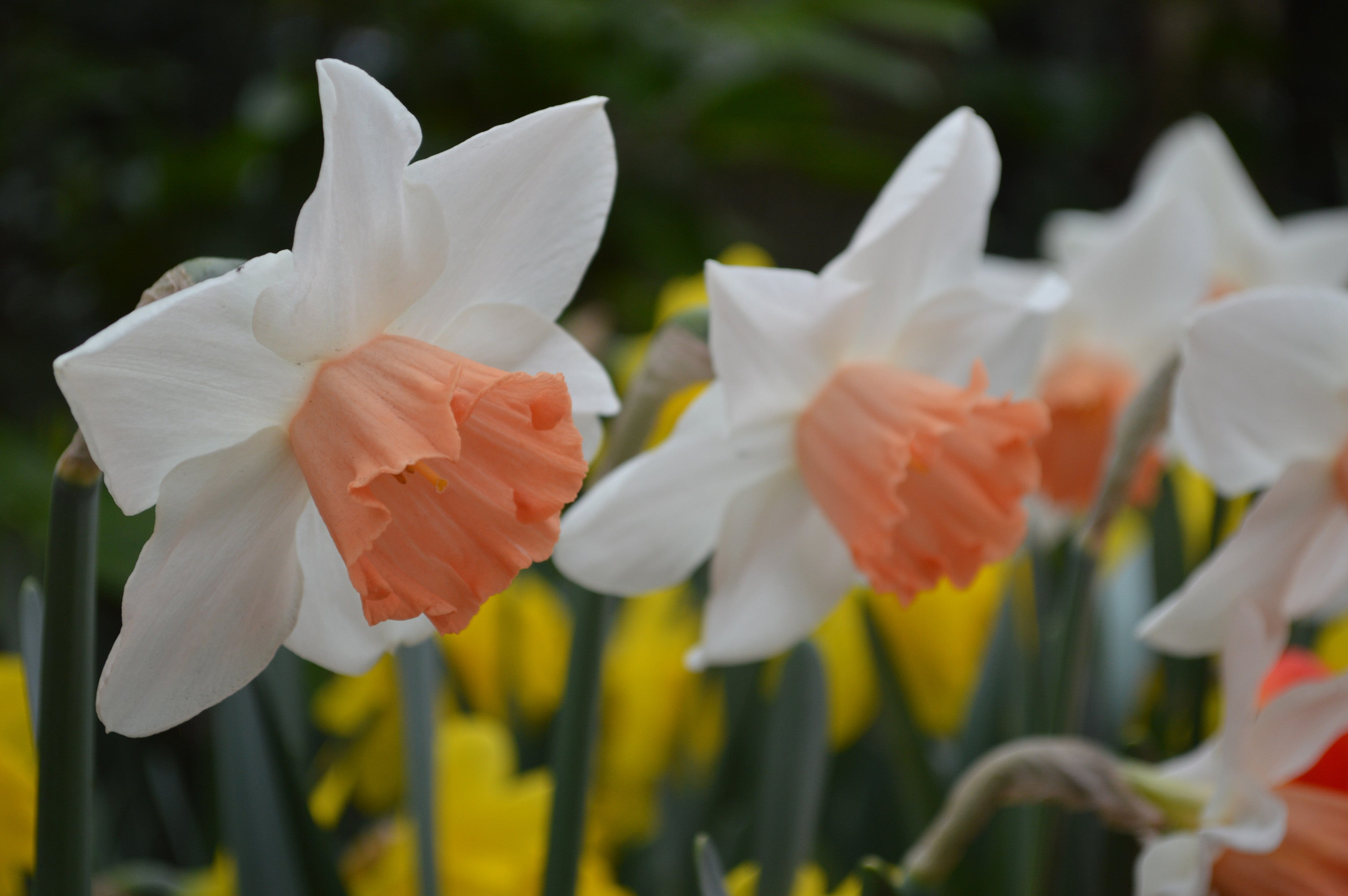 Daffodil accent buy daffodil bulbs dutchgrown daffodil accent apricot white spring flowers pre order mightylinksfo