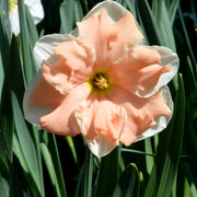 Daffodil Apricot Whirl flower bulbs USA