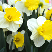 Daffodil Attraction Bulbs
