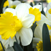 Daffodil Attraction white and yellow spring flowers