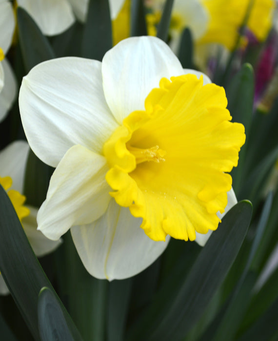 Wholesale Daffodil Attraction Bulbs