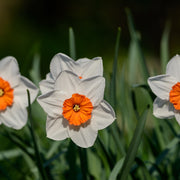 Daffodil Barret Browning white and orange spring flowers