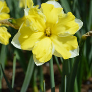 Cassata Daffodil flower bulbs