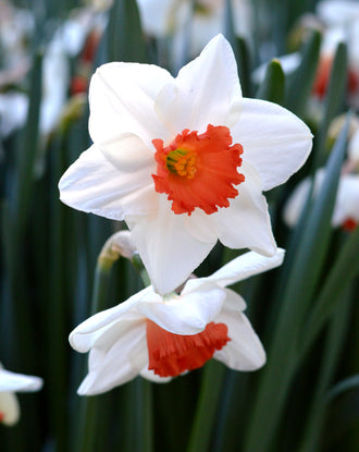 Daffodil Decoy USA white red narcissus