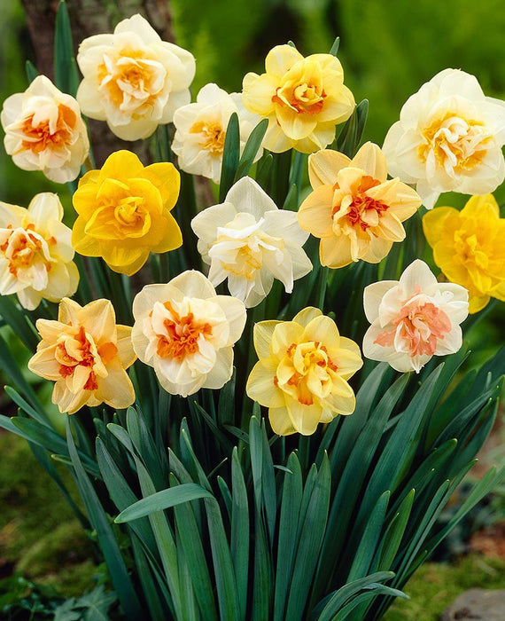 Double Daffodil Bulbs Landscaper Special