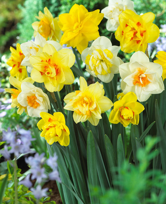 Double Daffodils