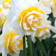Daffodil (Narcissus) flower bulbs 'Double Star'