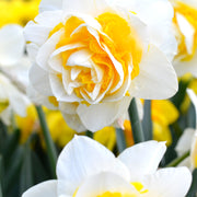Double Star daffodils - White and yellow spring flower