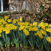 Daffodil (Narcissus) Dutch Master (King Alfred)