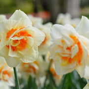 Daffodil Flower Parade Bulbs
