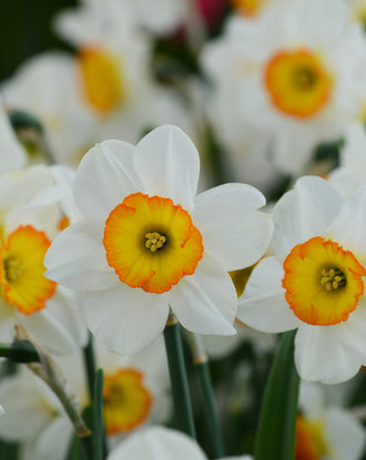 Daffodil Flower Record Landscaper Special