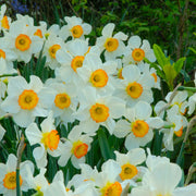Daffodils Flower Record flower bulbs