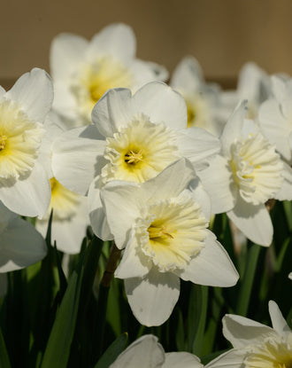 Daffodil Ice Follies Landscaper Special