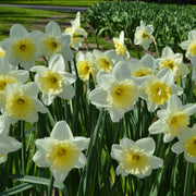 Daffodils Ice Follies