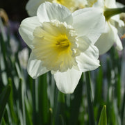 Daffodil Ice Follies Bulb