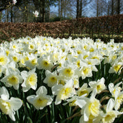 Daffodil Bulbs Ice Follies