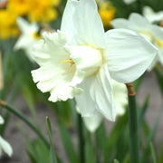 Mount Hood White trumpet daffodil fall planting, spring flowering