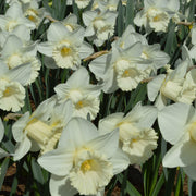 White Daffodils Mount Hood Landscaper Special