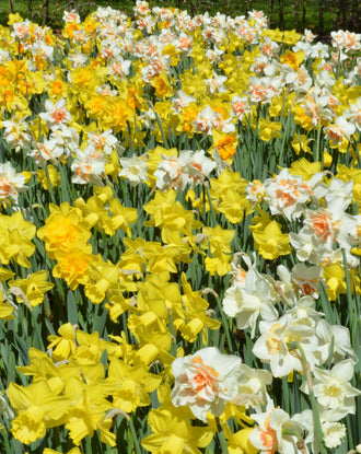 Daffodil Naturalizing Mix