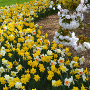 Daffodil Mix spring flowering, fall planting garden