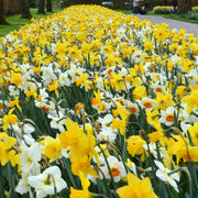 Daffodil Bulbs Mixed for a colorful spring garden