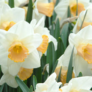 Narcissus Salome - spring flower, fall planting