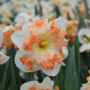 Double Daffodil Sunny Girlfriend spring flowers