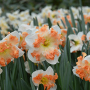 Sunny Girlfriend Daffodil - Top Quality Daffodils - Fall Planting - Spring Flowering