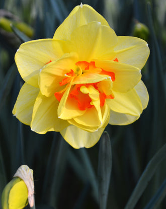 Daffodil Tahiti Bulbs wholesale landscaper special offer