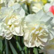 Daffodil White Explosion Double