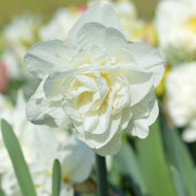 Daffodil USA White Explosion