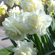 Daffodil White Explosion Narcissus Double White USA