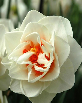 Daffodil Acropolis - Double White Narcissus with a red centre