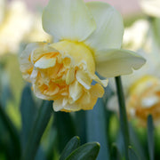 Daffodil Art Design - Fall Planted Narcissus bulbs