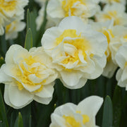 Daffodil Double Star - Fall Planted Narcissus Bulbs