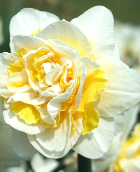 Daffodil Lingerie - White and Yellow double narcissus - Fragrant