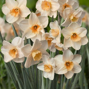 Daffodil Prosecco narcissus flower bulbs