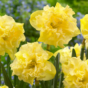 Daffodil Sailorman - Buttery Yellow Ruffled Narcissus
