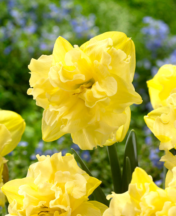Daffodil Sailorman - Yellow Butterfly Narcissus