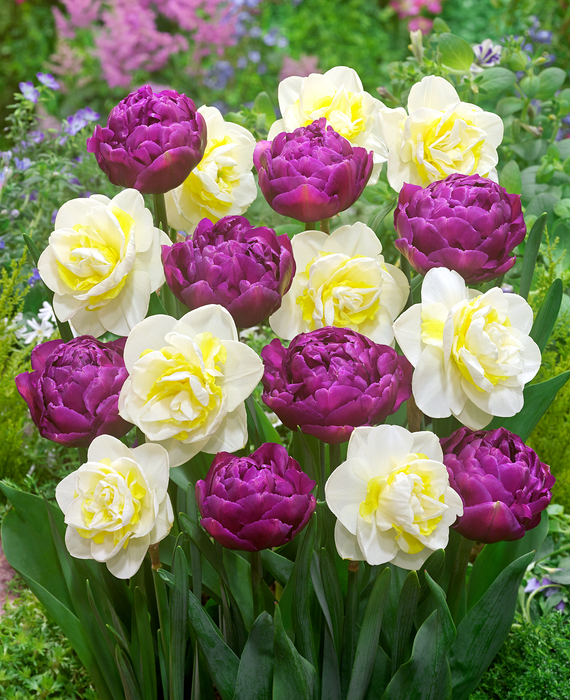 Double Dazzle Collection - DutchGrown - Flower Bulbs - Daffodils and Tulips Mix