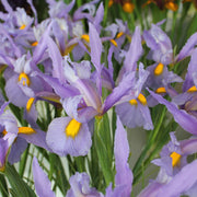 USA Dutch Iris Pink Panther flower bulbs
